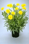 Coreopsis grandiflora - Early Sunrise